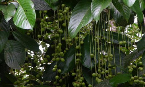 "Photo of the fruit on the Baccaurea racemosa tree AKA ""kepundung"" or ""menteng"" fruit"